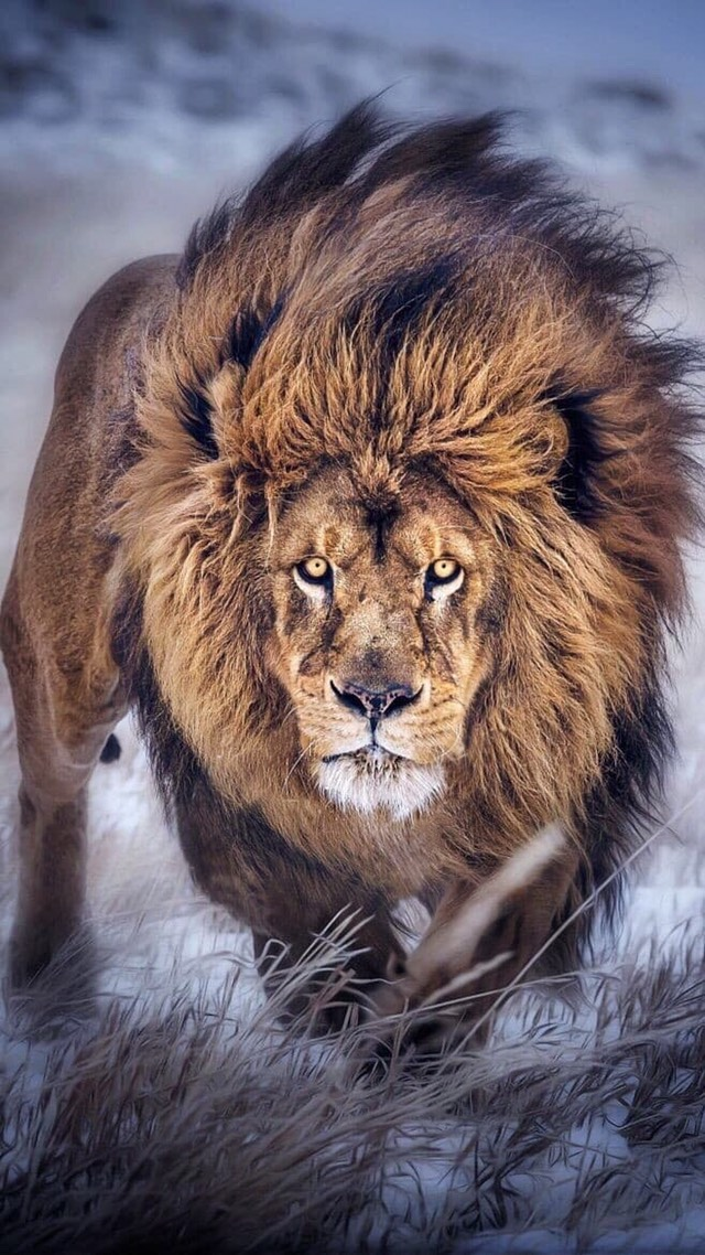 If you like lions and other Big Kitties Like this!!! Or if your a dog person (To be honest I'm bo...